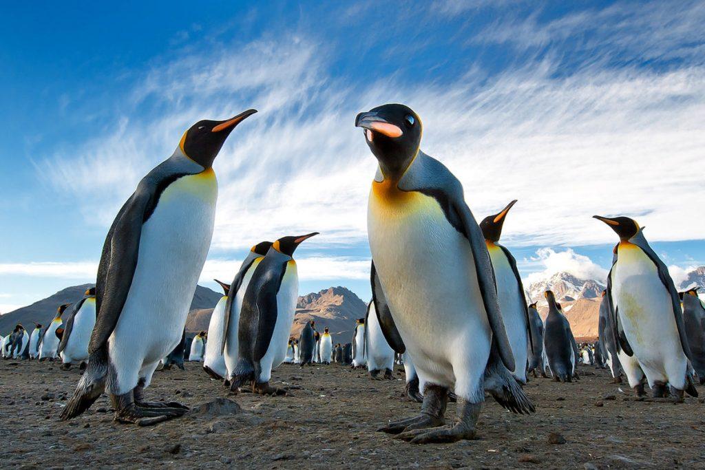 Пингвин королевский