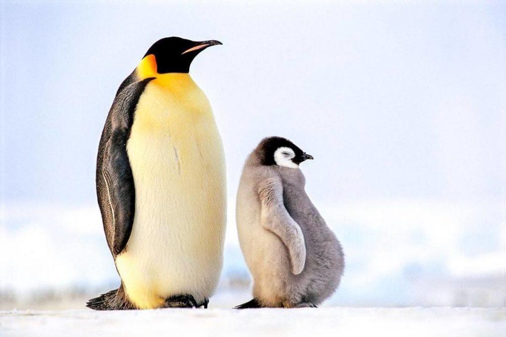 Пингвин Императорский
