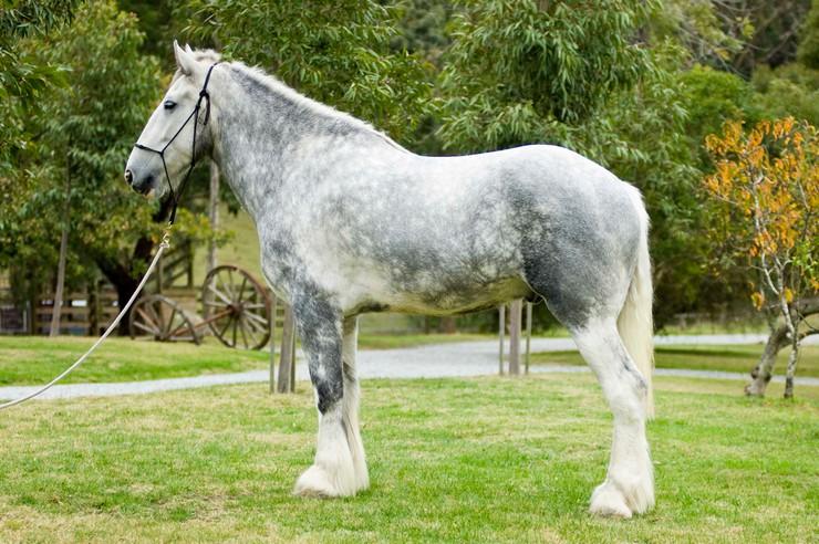 Лошадь породы Нодди