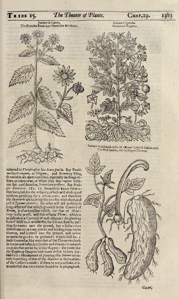 Картофель. Гравюры из ботанического справочника Джона Паркинсона «Theatrum Botanicum». Лондон, 1640 год