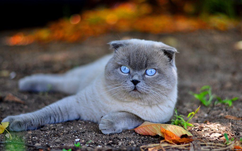 Вислоухая шотландская кошка