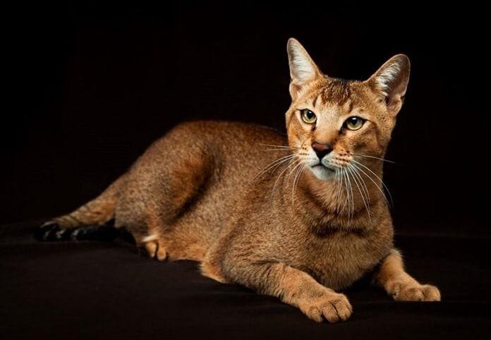 Чаузи ( хауси, хаус, нильская кошка)