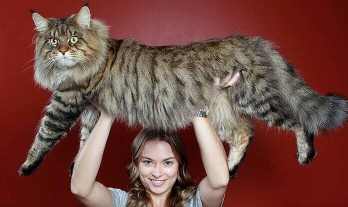 Мейн-кун (мейнская енотовая кошка, кун)