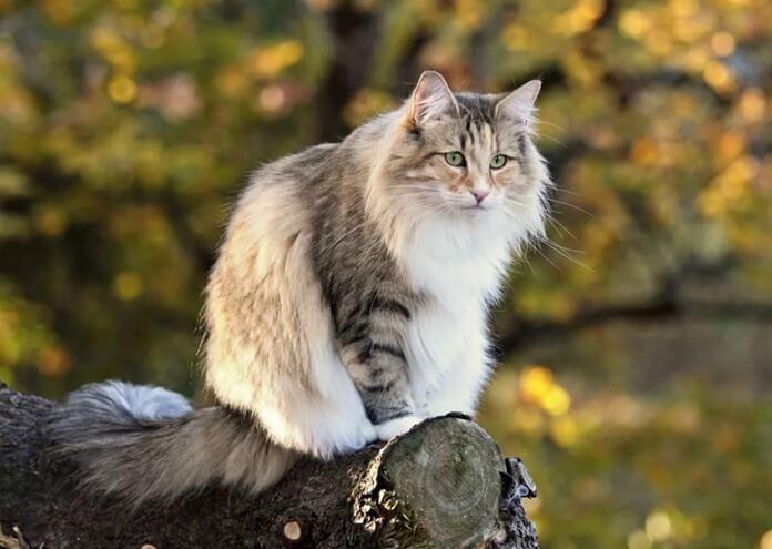 Норвежская лесная кошка (стогкат)