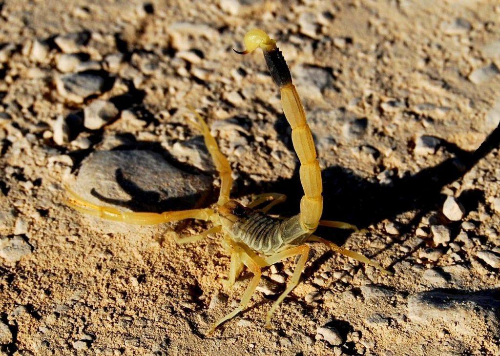 Скорпион Leiurus quinquestriatus
