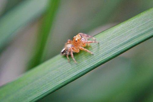 Самоанский моховой паук